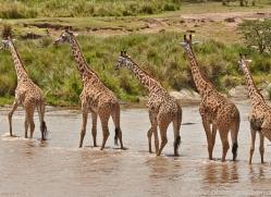 Giraffe 2014-11copyright-photographers-on-safari-com