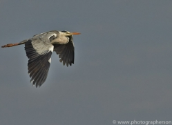 Grey Heron 2014-11copyright-photographers-on-safari-com