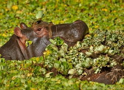 Hippopotomas 2014-11copyright-photographers-on-safari-com