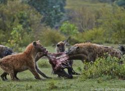 Hyena 2014-3copyright-photographers-on-safari-com