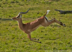 Impala 2014-5copyright-photographers-on-safari-com