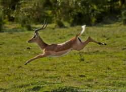 Impala 2014-6copyright-photographers-on-safari-com