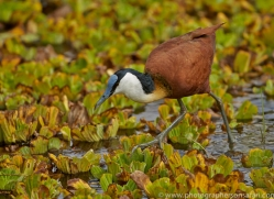 Jacana 2014-4copyright-photographers-on-safari-com