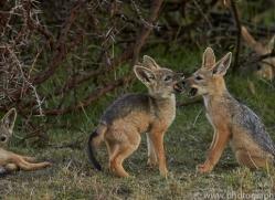Jackal 2014-1copyright-photographers-on-safari-com