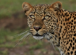 Leopard 2014-12copyright-photographers-on-safari-com