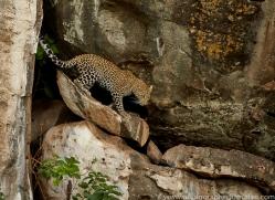 Leopard 2014-15copyright-photographers-on-safari-com