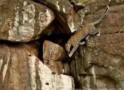 Leopard 2014-16copyright-photographers-on-safari-com