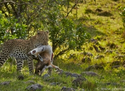 Leopard 2014-17copyright-photographers-on-safari-com