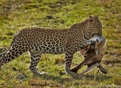 Leopard 2014-18copyright-photographers-on-safari-com