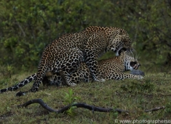 Leopard 2014-19copyright-photographers-on-safari-com