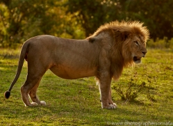 Lion 2014-11copyright-photographers-on-safari-com