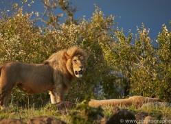 Lion 2014-12copyright-photographers-on-safari-com