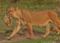 Lion 2014-15copyright-photographers-on-safari-com