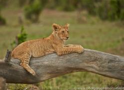 Lion 2014-16copyright-photographers-on-safari-com