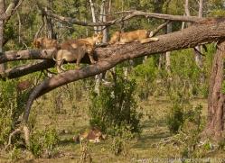 Lion 2014-17copyright-photographers-on-safari-com