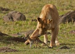 Lion 2014-18copyright-photographers-on-safari-com
