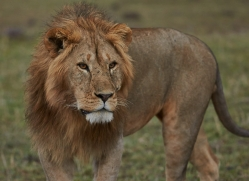 Lion 2014-19copyright-photographers-on-safari-com