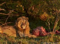 Lion 2014-20copyright-photographers-on-safari-com