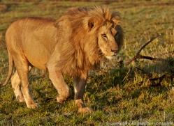 Lion 2014-21copyright-photographers-on-safari-com