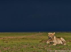Lion 2014-23copyright-photographers-on-safari-com
