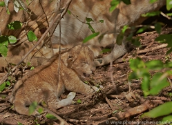 Lion 2014-24copyright-photographers-on-safari-com