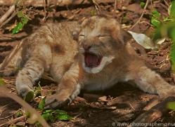 Lion 2014-25copyright-photographers-on-safari-com