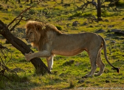 Lion 2014-2copyright-photographers-on-safari-com