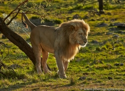 Lion 2014-3copyright-photographers-on-safari-com