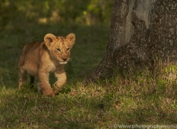 Lion 2014-6copyright-photographers-on-safari-com
