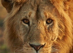 Lion 2014-7copyright-photographers-on-safari-com