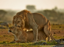 Lion 2014-8copyright-photographers-on-safari-com