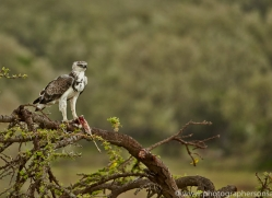 Martial Eagle 2014-1copyright-photographers-on-safari-com