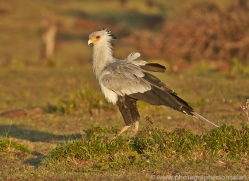 Secretary Bird 2014-1copyright-photographers-on-safari-com