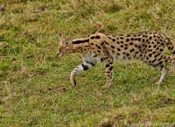 Serval 2014-21copyright-photographers-on-safari-com