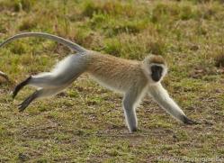 Vervet Monkey 2014-1copyright-photographers-on-safari-com