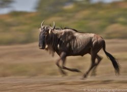 Wildebeest 2014-11copyright-photographers-on-safari-com
