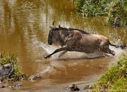 Wildebeest 2014-12copyright-photographers-on-safari-com