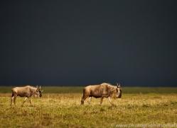 Wildebeest 2014-14copyright-photographers-on-safari-com