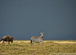 Zebra 2014-2copyright-photographers-on-safari-com