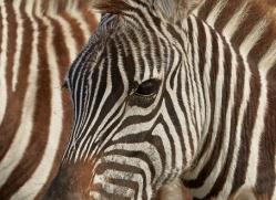 Zebra 2014-5copyright-photographers-on-safari-com