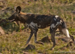 african-wild-dog-masai-mara-1683-copyright-photographers-on-safari-com