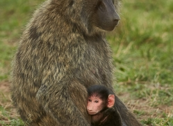 baboon-copyright-photographers-on-safari-com-8434