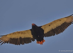 bateleur-eagle-masai-mara-1681-copyright-photographers-on-safari-com