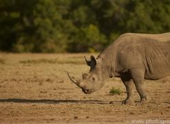 black-rhino-copyright-photographers-on-safari-com-8435