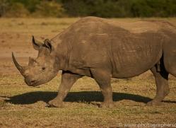 black-rhino-copyright-photographers-on-safari-com-8436
