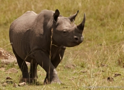 black-rhino-masai-mara-1645-copyright-photographers-on-safari-com