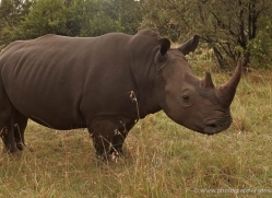 black-rhino-masai-mara-1647-copyright-photographers-on-safari-com