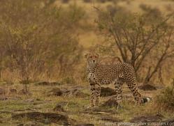 cheetah-copyright-photographers-on-safari-com-7937