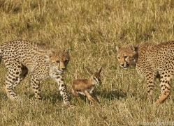 cheetah-copyright-photographers-on-safari-com-7939