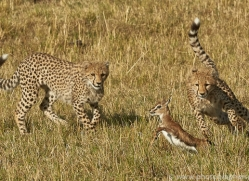cheetah-copyright-photographers-on-safari-com-7940